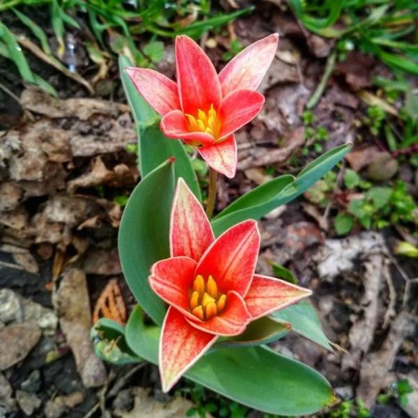 В Запорожье расцвели магнолии и тюльпаны - фото