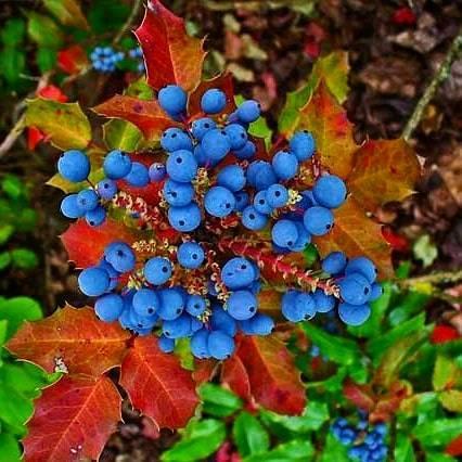 В Запорожье цветет магнолия, ягоды которой съедобны - фото