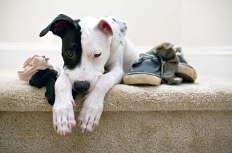 Рекомендации специалистов, как избавить домашнего питомца от вредной привычки грызть обувь