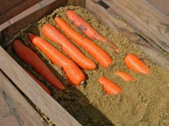 как сохранить зимой морковь