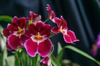 Почему орхидея сбрасывает бутоны фото
