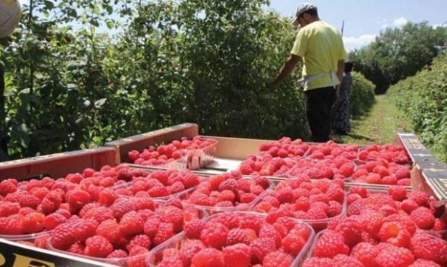 Сбор ягод: сколько платят украинским заробитчанам в Польше фото