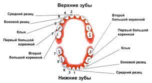 Когда у детей начинают выпадать молочные зубы: схема, таблица, в.