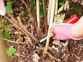 Подготовить малину к зимовке несложно, но важно учитывать особенности сортов и следовать рекомендациям